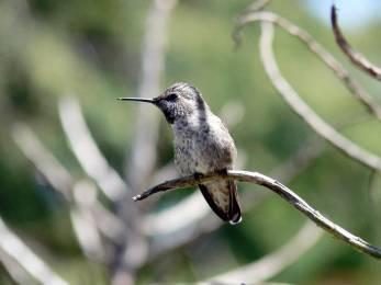 Annas_hummingbird
