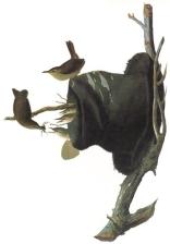 audubon-ix-songsters-and-mimics-house-wren
