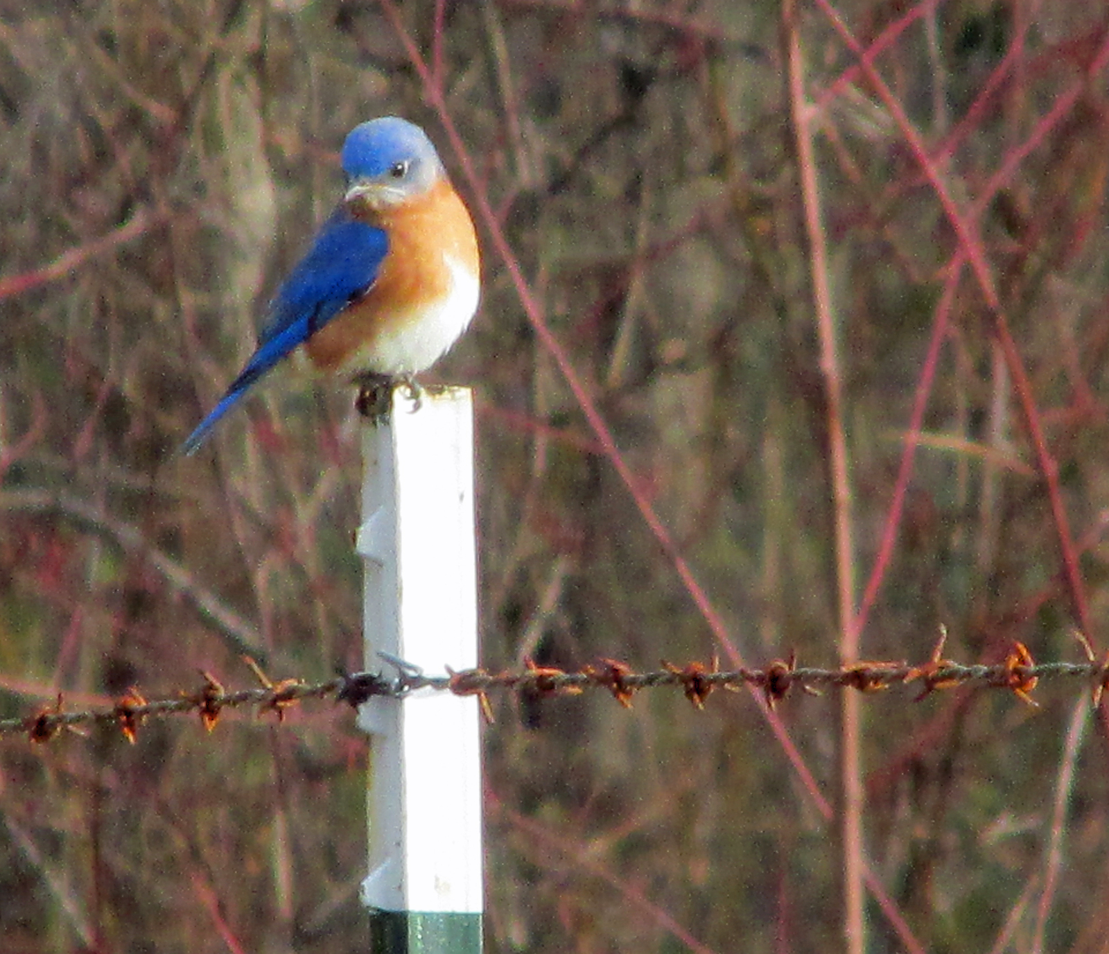bluebirds | Our Fine Feathered Friends