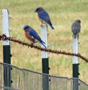 Bluebirds-One