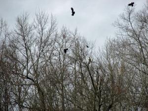 Hawk-Crowsss