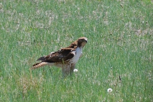 Red-tailed-Field