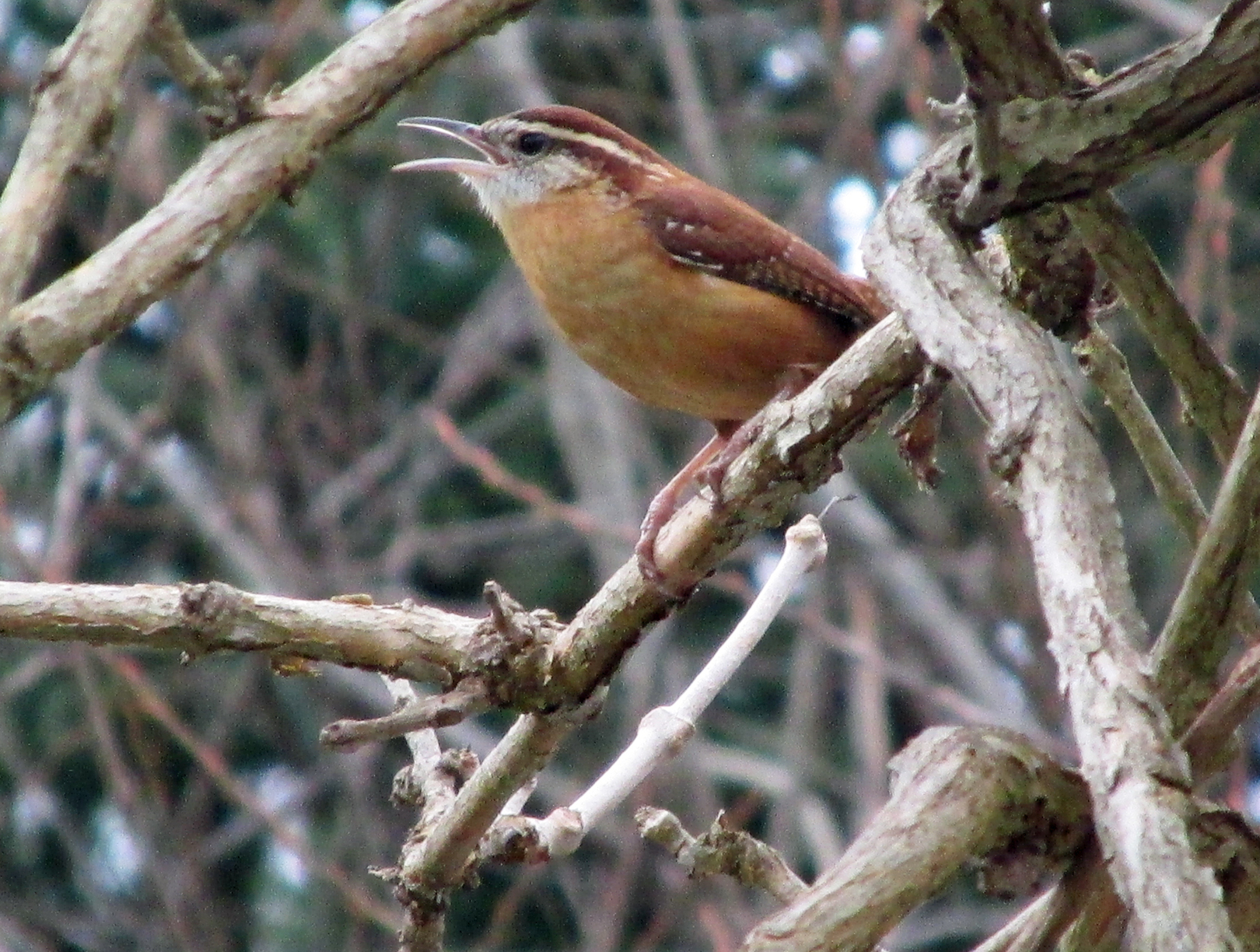Carolina Wrens | Our Fine Feathered Friends