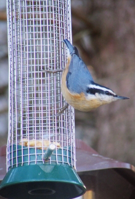 Red-breastedNuthatch