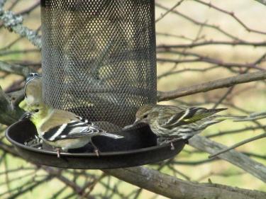 Sisken-Finch
