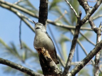 WBNuthatch-Poised