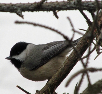 Winter-Chickadee-Confused