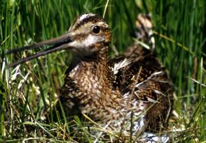 Common_Snipe