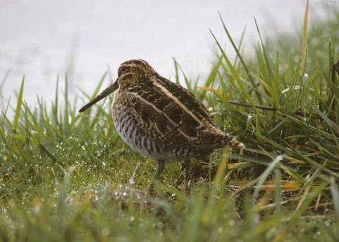 Common_Snipe_or_Wilsons_Snipe