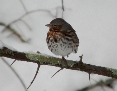 FoxSparrow-Foot