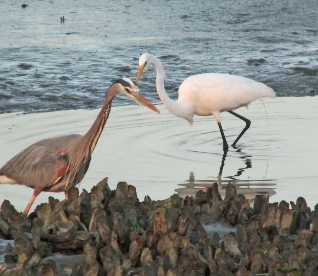 Photo by Bryan Stevens • A great blue heron and a great egret patrol a tidal creek in South Carolina.