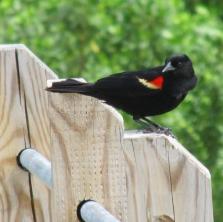 Hunt-Redwing
