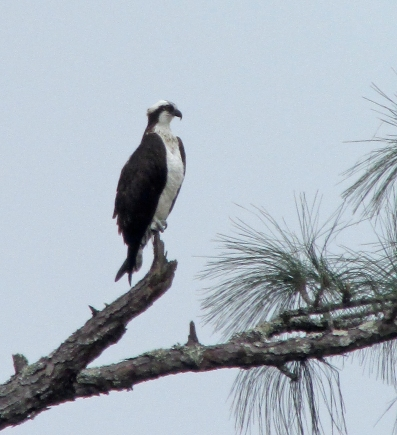Osprey-Brook
