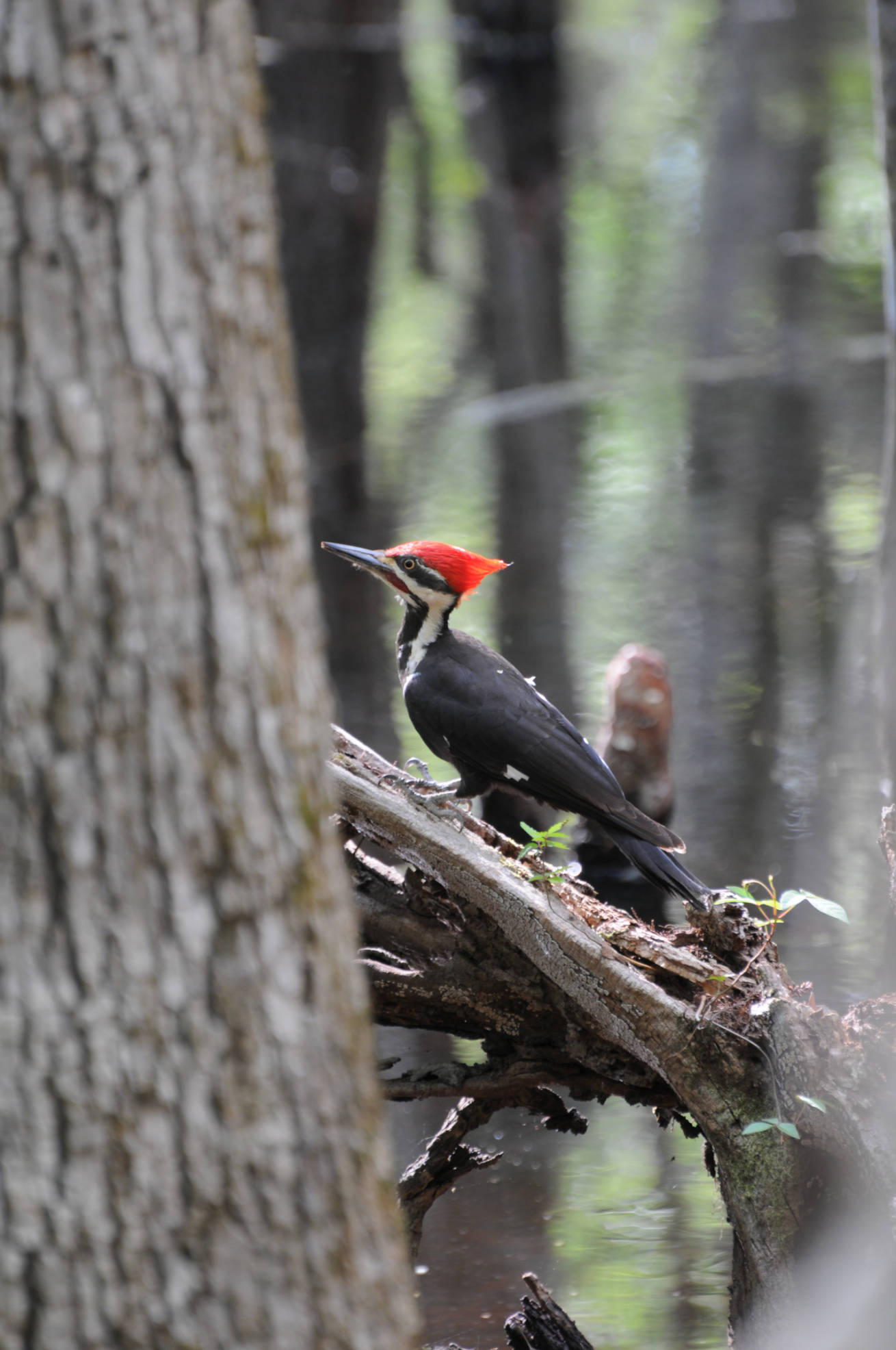 Red crested woodpecker