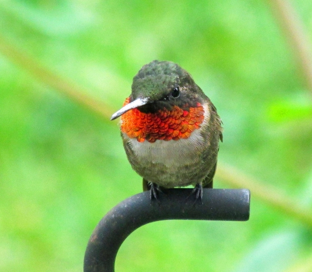 Rubythroat