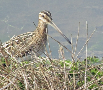 Snipe-Two