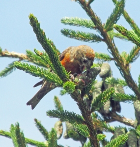 Crossbill-Two