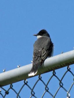 Kingbird-ETSU