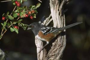Photo by U.S. Fish & Wildlife Service A male Spotted Towhee shows extensive spotting on its back.