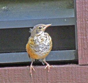 Spring-RobinBaby