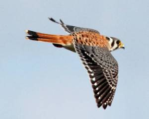 American_kestrel_in_flight