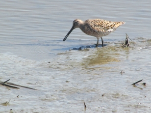 Dowitcher-Two