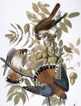 john-james-audubon-audubon-kestrel-1827