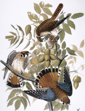 john-james-audubon-audubon-kestrel-1827