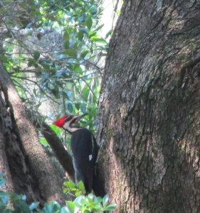 Pileated-1