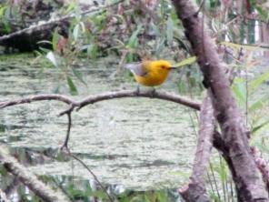 Protho-Warbler