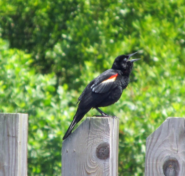 RW-Blackbird-Erwin