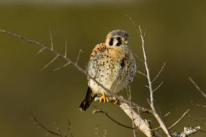 Young_American_Kestrel