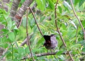 Catbird-Tail