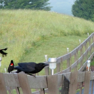 Crow-Waxwings