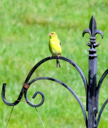 Goldfinch-Female