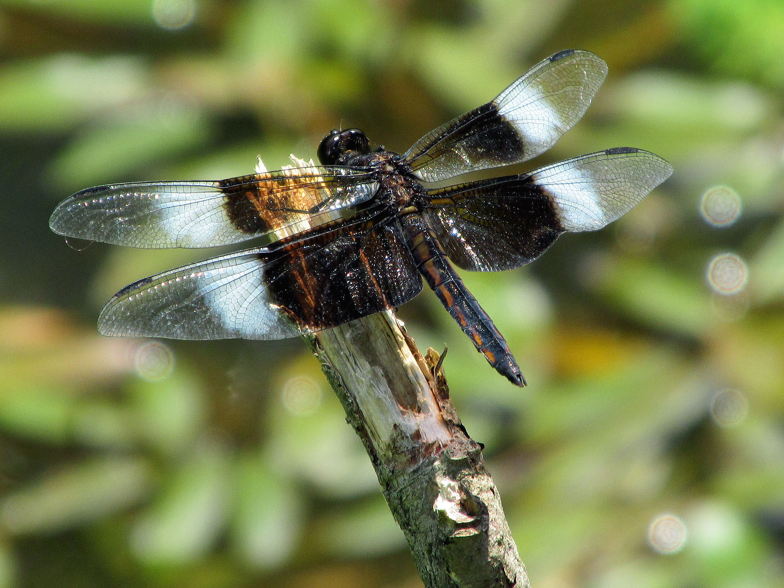 Dragonflies Our Fine Feathered Friends