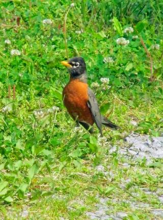 Robin-Hunter