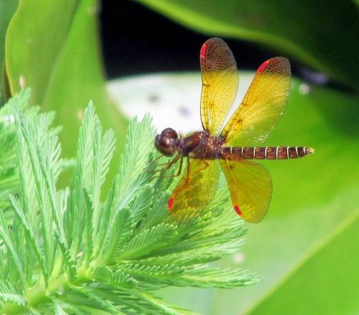 Amberwing-PondJuly