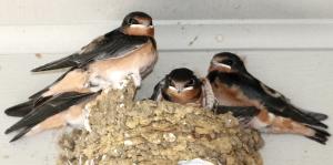 BarnSwallows.jpg