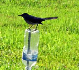 Catbird-Bottle