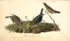 John-James-Audubon-Common-Cow-bird.-1.-Male.-2.-Female.-3.-Young