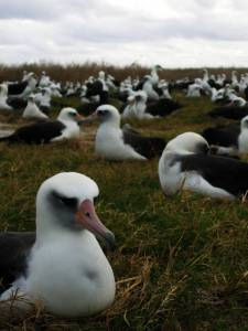 Laysan_albatross_nesting_on_Eastern_Island