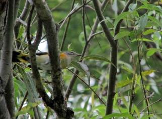 Redstart-Aug29