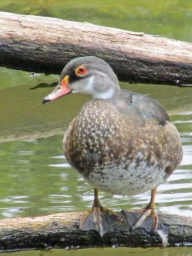 WoodDuck-Eclipse