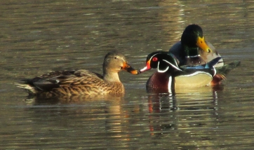 WoodDuck-Mallards