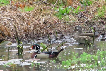 WoodDucks 2