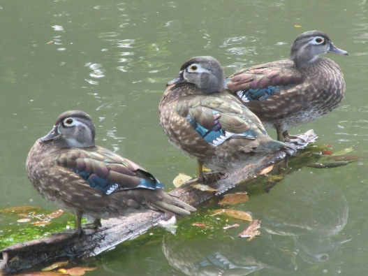 WoodDucks