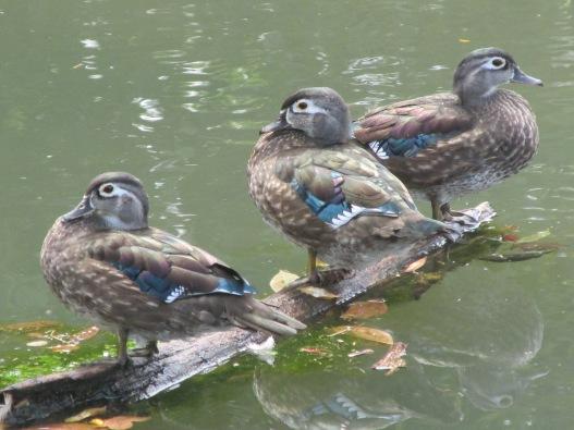 WoodDucks