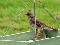 Cardinal-Fam