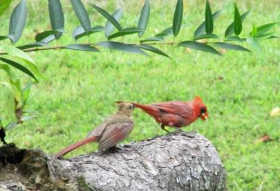 Cardinal_DadAndYoung